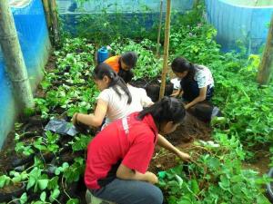 タイでのいちご栽培70%